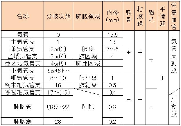 気管支の分岐特徴