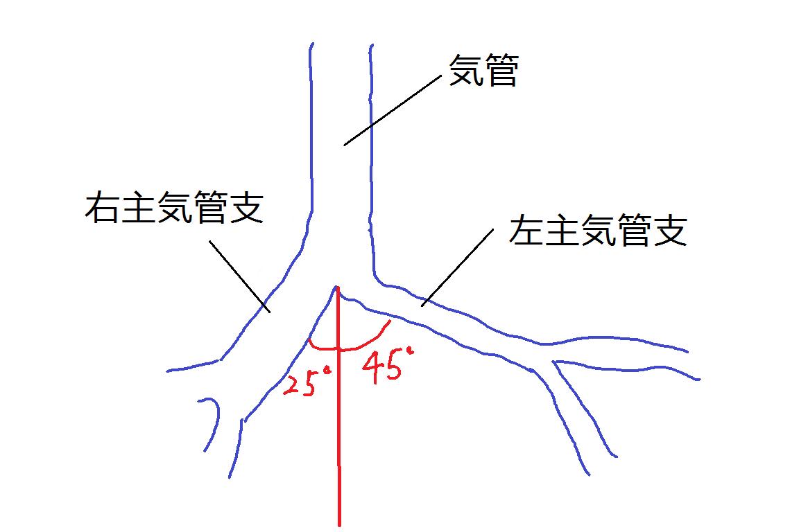 気管支の解剖