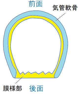 気管の断面図