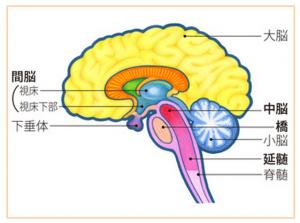 脳幹の延髄