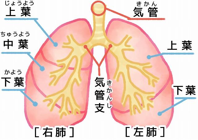肺区域の画像