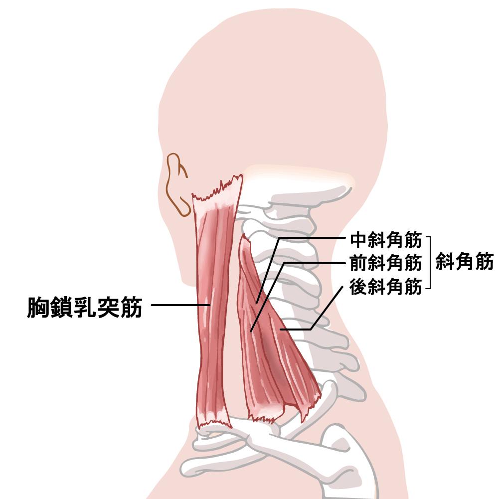 斜角筋と胸鎖乳突筋肉のイラスト