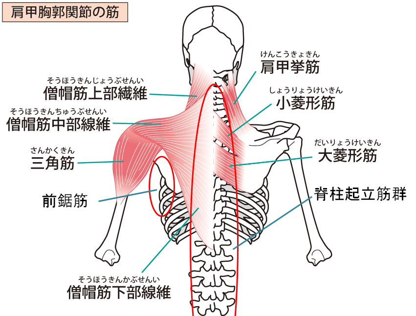 背中の呼吸補助筋のイラスト