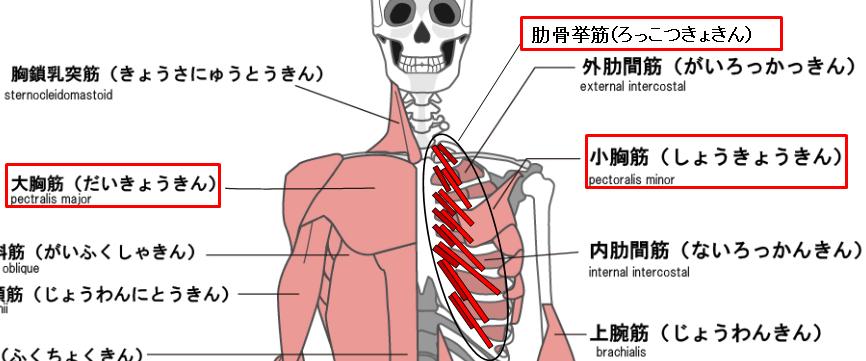 胸部側の呼吸補助筋のイラスト