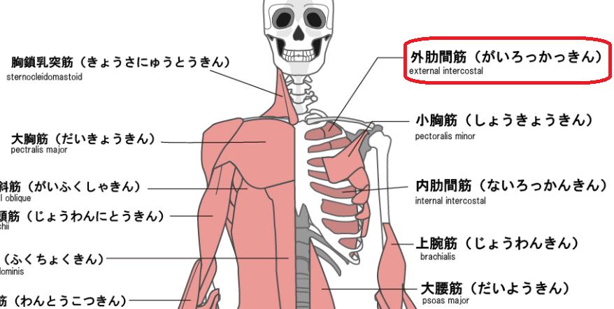 外肋間筋のイラスト