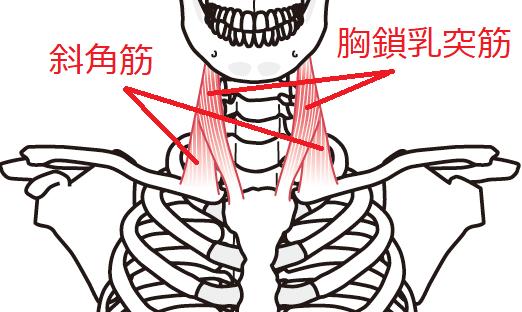 胸鎖乳突筋斜角の骨のつながり