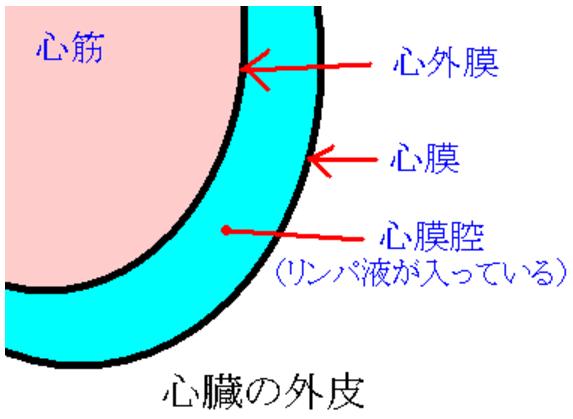 心臓の外膜