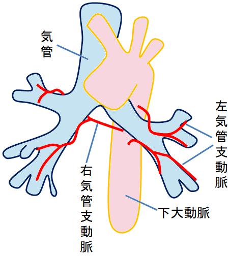 気管支動脈のイラスト
