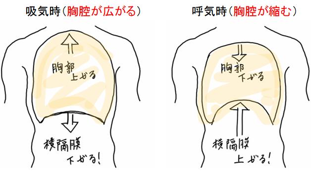 呼吸時の胸腔の容量