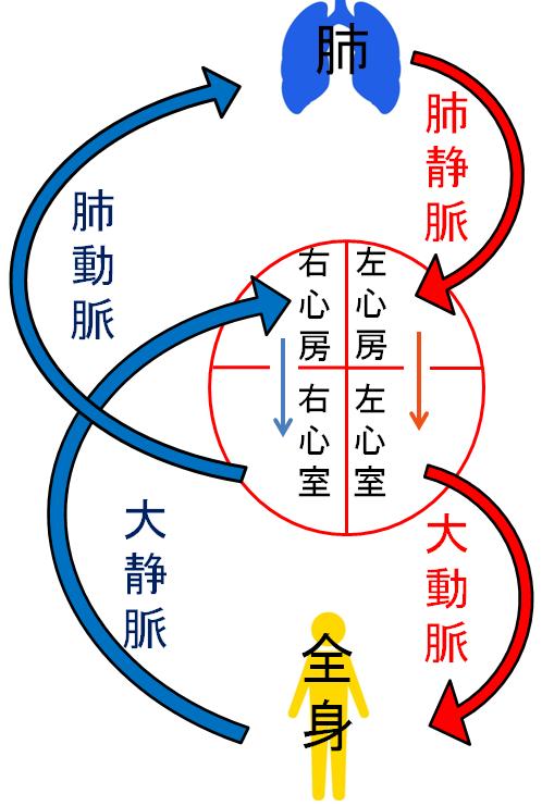 大循環と肺循環の簡略図イラスト