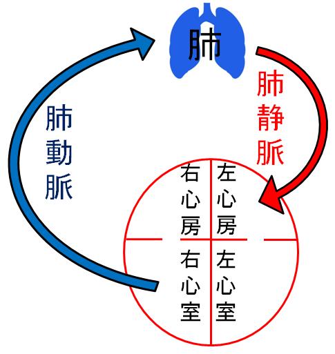 肺循環のイラスト