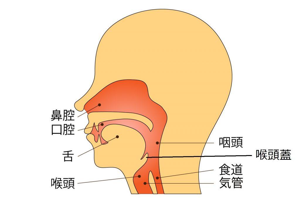 喉頭蓋のイラスト