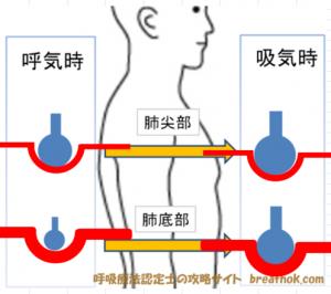 肺尖部と肺底部のガス交換画像