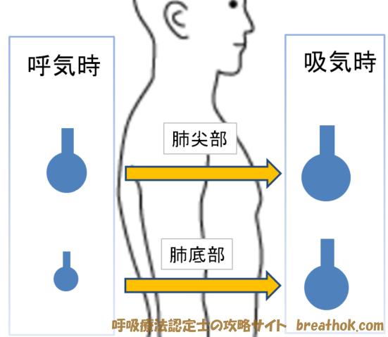 肺尖部と肺底部のガス交換量の違い画像