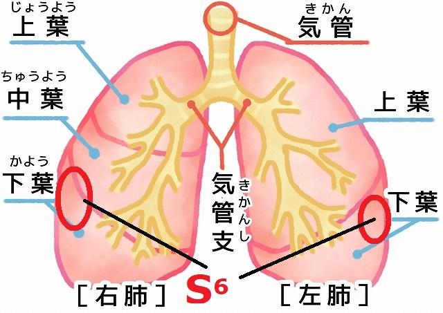肺 の 位置